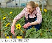 Купить «Female florist checking potted ornamental Helianthus», фото № 32188557, снято 9 апреля 2019 г. (c) Яков Филимонов / Фотобанк Лори