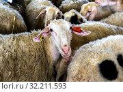 Купить «Agricultural cooperative in Beit Furik, West Bank, Palestine, co-financed by a loan from ACAD Finance. Sheep.», фото № 32211593, снято 21 ноября 2019 г. (c) age Fotostock / Фотобанк Лори