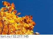 Купить «Bright yellow autumn maple leaves on blue sky background», фото № 32217145, снято 11 октября 2018 г. (c) Наталья Волкова / Фотобанк Лори