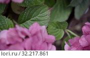 Купить «Pink flowers of hydrangea close-up. shallow DOF», видеоролик № 32217861, снято 10 августа 2019 г. (c) Ирина Мойсеева / Фотобанк Лори