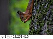 Купить «Белка ест орешек на дереве в лесу», фото № 32231025, снято 28 сентября 2019 г. (c) Николай Винокуров / Фотобанк Лори