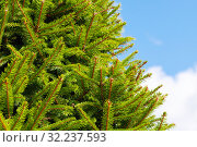 Купить «Fresh green spruce branches», фото № 32237593, снято 14 сентября 2019 г. (c) EugeneSergeev / Фотобанк Лори