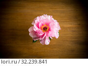 Pink Peony flower ,Paeonia suffruticosa, isolated on on a wooden. Стоковое фото, фотограф Peredniankina / Фотобанк Лори