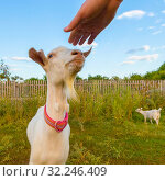 The goat's muzzle stretches to the man's hand against the blue sky. Стоковое фото, фотограф Акиньшин Владимир / Фотобанк Лори