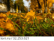 Купить «Кленовые листья на газоне», фото № 32253021, снято 3 октября 2019 г. (c) Кристина Викулова / Фотобанк Лори