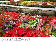 Купить «View of different bloomy flowers begonia growing in greenhouse», фото № 32254989, снято 7 августа 2020 г. (c) Яков Филимонов / Фотобанк Лори