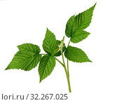 Купить «Raspberry branch with a green stem and leaves on a white background, young shoot.», фото № 32267025, снято 27 августа 2019 г. (c) easy Fotostock / Фотобанк Лори