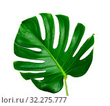 Купить «большой зеленый лист монстеры на белом фоне», фото № 32275777, снято 13 сентября 2019 г. (c) Tamara Kulikova / Фотобанк Лори