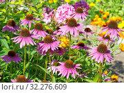Купить «Эхинацея пурпурная (лат. Echinacea purpurea) в летнем саду», фото № 32276609, снято 7 августа 2019 г. (c) Елена Коромыслова / Фотобанк Лори