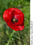 Купить «Красный мак (лат. Papaver) цветет в летнем саду», фото № 32276617, снято 7 августа 2019 г. (c) Елена Коромыслова / Фотобанк Лори