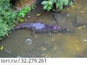 Купить «Гавиаловый крокодил  Gharial», фото № 32279261, снято 19 апреля 2017 г. (c) Галина Савина / Фотобанк Лори