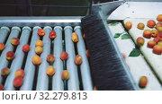 Купить «View of fresh ripe apricots on conveyor belt of sorting production line», видеоролик № 32279813, снято 29 июня 2019 г. (c) Яков Филимонов / Фотобанк Лори