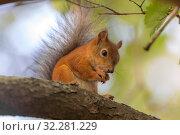 Squirrel on a tree branch. Стоковое фото, фотограф Argument / Фотобанк Лори