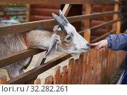 Контактный зоопарк. Ребёнок протягивает руку к морде козлёнка (2019 год). Редакционное фото, фотограф Dmitry29 / Фотобанк Лори