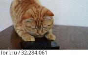 Купить «Red cat with interest looks at the screen of a cell phone», видеоролик № 32284061, снято 25 августа 2019 г. (c) Володина Ольга / Фотобанк Лори