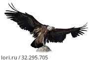 Купить «Griffon vulture on stone on white background», фото № 32295705, снято 19 октября 2019 г. (c) Яков Филимонов / Фотобанк Лори