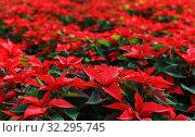Купить «Closeup of poinsettia foliage», фото № 32295745, снято 22 ноября 2018 г. (c) Яков Филимонов / Фотобанк Лори