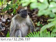 Купить «Zanzibar red colobus in Jozani forest. Tanzania, Africa», фото № 32296197, снято 6 октября 2019 г. (c) Знаменский Олег / Фотобанк Лори