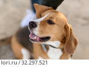Купить «close up of beagle dog», фото № 32297521, снято 29 сентября 2018 г. (c) Syda Productions / Фотобанк Лори
