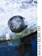 Нерпа обыкновенная, тюлень пятнистый (Phoca vitulina Linnaeus) у воды в океанариуме. Стоковое фото, фотограф Татьяна Белова / Фотобанк Лори
