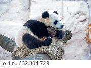 Купить «Большая панда (белая панда)», фото № 32304729, снято 7 ноября 2014 г. (c) Галина Савина / Фотобанк Лори