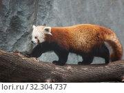 Купить «Малая панда (красная панда)», фото № 32304737, снято 7 ноября 2014 г. (c) Галина Савина / Фотобанк Лори