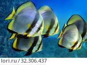 Купить «Стая тропических рыб бабочек в морской воде», фото № 32306437, снято 4 мая 2019 г. (c) Татьяна Белова / Фотобанк Лори