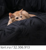Купить «Red kitten plays on a dark background. In ambush. Color Orange Tabby Secondary Color», фото № 32306913, снято 20 октября 2019 г. (c) Ирина Кожемякина / Фотобанк Лори
