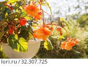Купить «Blooming orange begonia», фото № 32307725, снято 16 июля 2019 г. (c) Юлия Бабкина / Фотобанк Лори