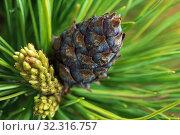 Купить «Cone with nut of dwarf stone pine. Close up natural floral background», фото № 32316757, снято 10 июня 2019 г. (c) А. А. Пирагис / Фотобанк Лори