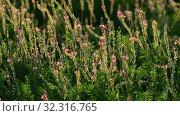 Купить «The Beautiful wild heather closeup a shot. Sunset», видеоролик № 32316765, снято 24 августа 2019 г. (c) Володина Ольга / Фотобанк Лори