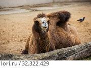 Двугорбый верблюд (Bactrian camel) Стоковое фото, фотограф Галина Савина / Фотобанк Лори