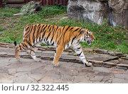 Амурский тигр, или сибирский тигр. Стоковое фото, фотограф Галина Савина / Фотобанк Лори