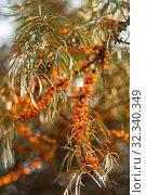 Купить «Ветка облепихи со спелыми плодами», фото № 32340349, снято 26 октября 2019 г. (c) WalDeMarus / Фотобанк Лори
