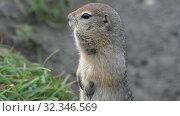 Купить «Portrait of Arctic ground squirrel, carefully looking around», видеоролик № 32346569, снято 26 октября 2019 г. (c) А. А. Пирагис / Фотобанк Лори