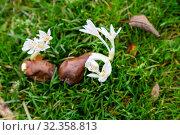 Белый Колхикум, или безвременник (Colchicum autumnale Album) Стоковое фото, фотограф Ольга Сейфутдинова / Фотобанк Лори
