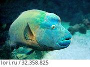 Купить «Рыба-Наполеон (Cheilinus undulatus). портрет», фото № 32358825, снято 18 февраля 2019 г. (c) Татьяна Белова / Фотобанк Лори