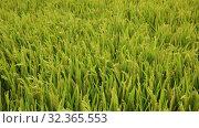 Close up of green rice field on sunny day. Стоковое видео, видеограф Яков Филимонов / Фотобанк Лори