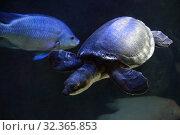 Купить «Двухкоготная черепаха (Carettochelys insculpta) в пресноводном аквариуме», фото № 32365853, снято 28 марта 2019 г. (c) Татьяна Белова / Фотобанк Лори