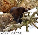 "Купить «Wolverine, Gulo gulo (Gulo is Latin for ""glutton""), also referred to as glutton, carcajou, skunk bear, or quickhatch, in forest», фото № 32369545, снято 24 марта 2018 г. (c) Валерия Попова / Фотобанк Лори"