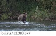 Купить «Hungry Kamchatka brown bear (Ursus arctos piscator) running in spray of water, chasing red salmon fish», видеоролик № 32383577, снято 5 ноября 2019 г. (c) А. А. Пирагис / Фотобанк Лори