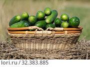 Купить «Зеленые огурцы в желтой плетеной корзине. Сельский натюрморт», фото № 32383885, снято 16 сентября 2019 г. (c) А. А. Пирагис / Фотобанк Лори