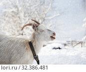 Купить «Portrait of a funny white goat with beautiful horns. Weather cold, winter, snow», фото № 32386481, снято 14 ноября 2019 г. (c) Ирина Козорог / Фотобанк Лори