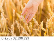 Купить «hand touching wheat spickelets on cereal field», фото № 32390729, снято 26 июля 2019 г. (c) Syda Productions / Фотобанк Лори