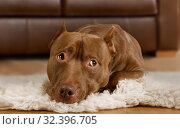American Pit Bull Terrier dog lying on a fur rug in the living room. Стоковое фото, фотограф Алексей Кузнецов / Фотобанк Лори