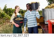 Купить «Two winegrowers harvesting ripe grapes», фото № 32397321, снято 12 сентября 2018 г. (c) Яков Филимонов / Фотобанк Лори