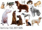 Купить «dog breed isolated», фото № 32397505, снято 10 декабря 2019 г. (c) Яков Филимонов / Фотобанк Лори