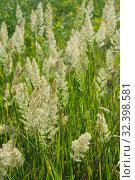 Купить «Tall steppe grass in bloom», фото № 32398581, снято 16 июня 2019 г. (c) Короленко Елена / Фотобанк Лори
