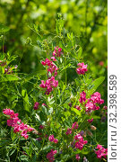 Купить «Wild sweet pea in bloom, Lathyrus tuberosus», фото № 32398589, снято 16 июня 2019 г. (c) Короленко Елена / Фотобанк Лори