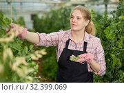 Купить «Woman farmer harvesting green peas in a greenhouse», фото № 32399069, снято 9 апреля 2019 г. (c) Яков Филимонов / Фотобанк Лори